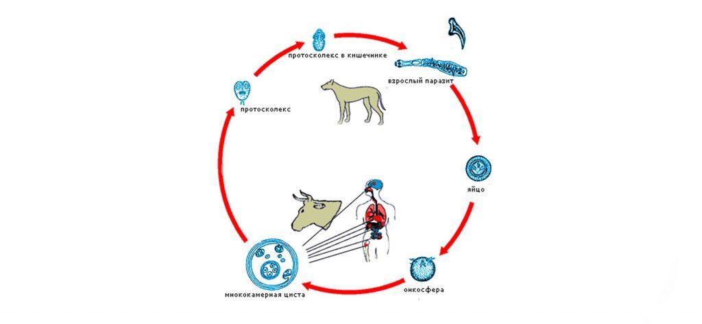Рис. 1. Жизненный цикл эхинококкоза.